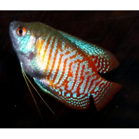 Gourami nain - Trichogaster lalius
