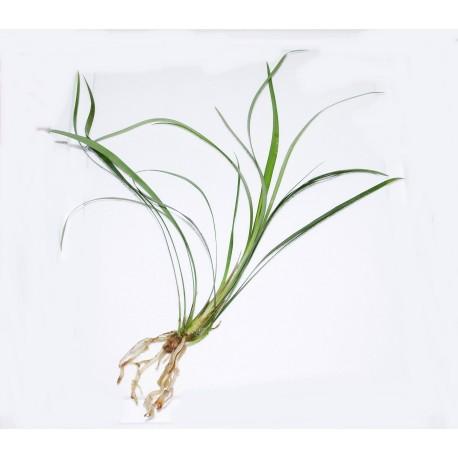 Muguet du Japon - Ophiopogon jaburan
