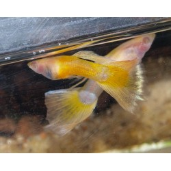 Guppy yellow taxi red belly mâle