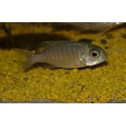 """Letrhinops sp. """"yellow collar"""" Masimbwe Islet"""