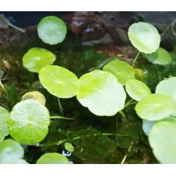 Ecuelle verticillée - Hydrocotyle verticiliata