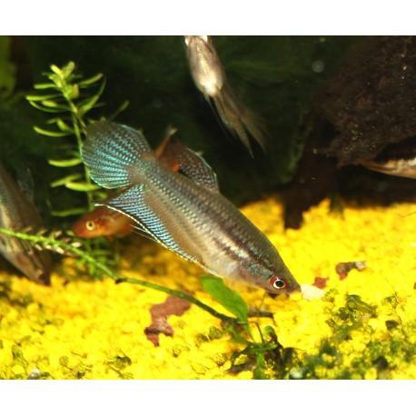 Gourami grogneur - Trichopsis vittata