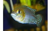 Pseudocrenilabrus nicholsi