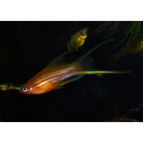 Xipho lyre rouge - Xiphophorus helleri