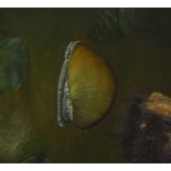 """Patelle porcelaine """"casque noir"""" - Neritina sp."""