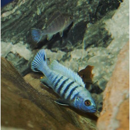 "Pseudotropheus sp. kingsizei ""lupingu"""