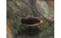 Platy noir tête rouge - Xiphophorus maculatus