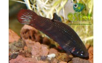 Combattant - Betta splendens - Forme naturelle
