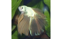 Combattant - Betta splendens - Sélection dragon gold