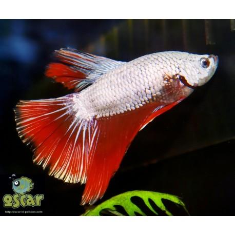 Combattant - Betta splendens - Sélection dragon rouge
