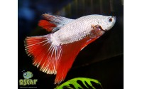 Combattant - Betta splendens - Sélection dragon rouge