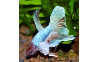 Combattant - Betta splendens - Sélection Dumbo