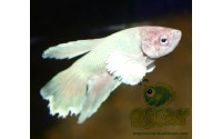 Combattant - Betta splendens - Sélection Dumbo halfmoon