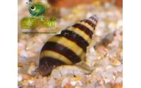 Escargot tigre - Anentome helena