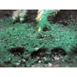 Fiche technique: Les cyanobactéries
